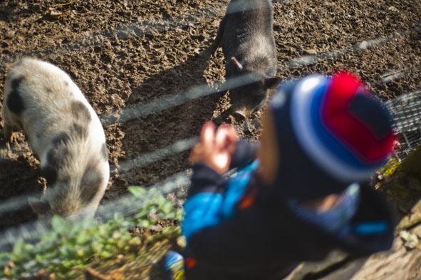 Wildpark_Wildbichl_Schweinde